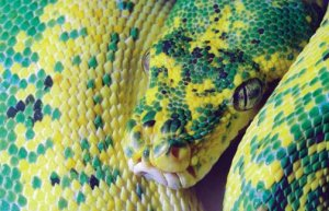 Python, asleep.